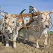 Stock Photo: Plowing with bullocks