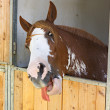 Horse put his tongue out — Stock Photo