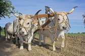 Plowing with bullocks — Stock Photo