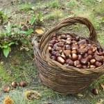 kastanjes oogsten — Stockfoto #8679043