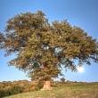 Oak on the hill - Stock Photo