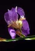 Violett iris — Stockfoto