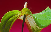 Anthurium — Foto de Stock