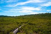 Bridge across mangroves — Stock Photo