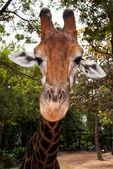 Giraffe's muzzle — Stock Photo