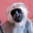 Macaque portrait — Stock Photo #8330397