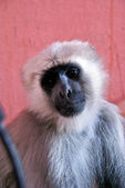 Retrato de macaco — Foto de Stock