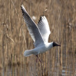 Black headed gull — Stock Photo #10174803
