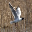 Black headed gull — Stock Photo