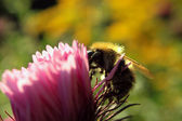 Bee on the pink flower in the garden — Stock Photo
