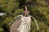 Bird of prey — Stock Photo