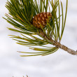 Stock Photo: Pine tree branch with cone