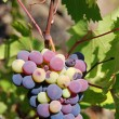 Wine grapes — Stock Photo #10071592