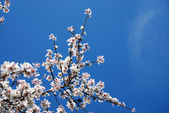 Fleurs de prunier — Photo