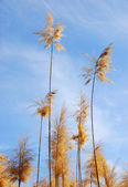 Common reed (phragmites) plant — Stock Photo