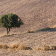 Lonely tree on a farmland — Stock Photo