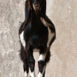 Goat animal - Stock Photo