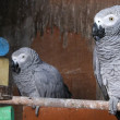 Stock Photo: Pair oh Parrots