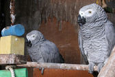 Pair oh Parrots — Stock Photo