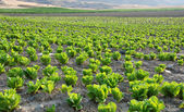 Lettuce field — Stockfoto