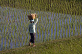 Woman in rice field — Stock Photo