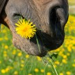 Stock Photo: Dandelion in mouth