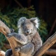 Stock Photo: Koalbear in tree