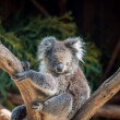 Koalbear in tree — Stock Photo #10722335