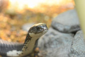 Snake beside stones — Stock Photo