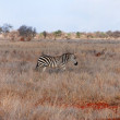 Zebra in grass — Stock Photo