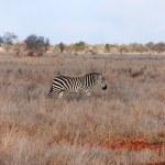 Zebra in grass — Stock Photo