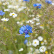 Cornflower — Stock Photo #8286144