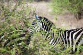 Zebra behind shrubbery — Stock Photo