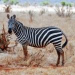 Zebra in Kenia — Stock Photo