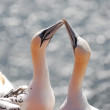 Gannet — Stock Photo