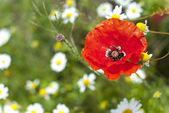Poppy blossom — Stock Photo