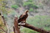 African Eagle — Stock Photo