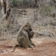 Stock Photo: Baboon (Papio cynocephalus)