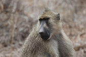 Baboon (Papio cynocephalus) — Stock Photo