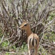 Female impala antelope (Aepyceros melampus petersi) - Foto de Stock