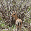 Female impala antelope (Aepyceros melampus petersi) - 图库照片