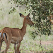 Female impala antelope (Aepyceros melampus petersi) — Stock Photo