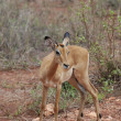 Female impala antelope (Aepyceros melampus petersi) — Stock Photo #9692085
