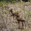 Stock Photo: Common Duiker (Sylvicaprgrimmia)