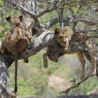 Stock Photo: Lions on Tree (Pantherleo)