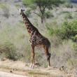 Stock Photo: Giraffe in the savanna (Giraffa camelopardalis)