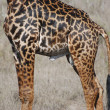 Stock Photo: Giraffe in savann(Giraffcamelopardalis)
