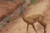 Impala (Aepyceros melampus petersi) — Stock Photo