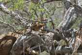 Lions on Tree (Panthera leo) — Stock Photo