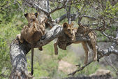 Lions on Tree (Panthera leo) — Stock Photo